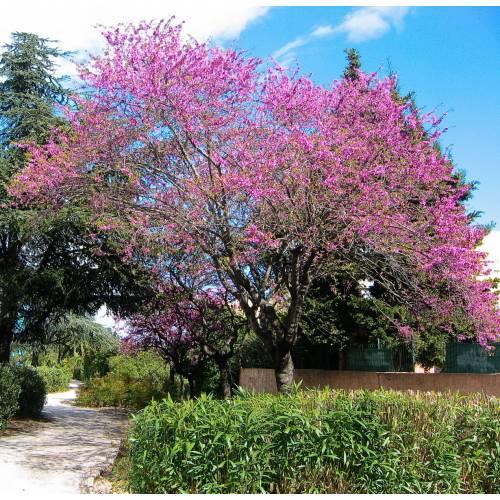 árvore De Judas Venda árvore De Judas Cercis Siliquastrum
